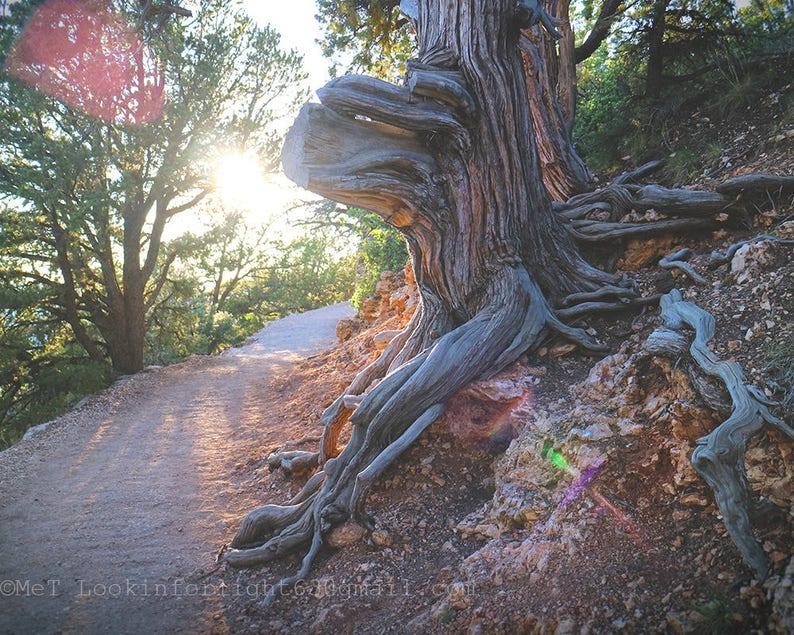 Sunshine & Tree Photo  Grand Canyon Tree  North Rim Grand image 0