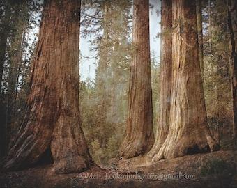 Tree Photography | Sequoia Woodlands Art | Mariposa Grove Photo | Yosemite National Park | Tree Canvas Art | Forest Photo California Nature