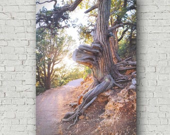Sunshine & Tree Photo | Grand Canyon Tree | North Rim Grand Canyon | Arizona Nature Photo | Old Tree Photo | Sunlit Path Photo | Trail Photo