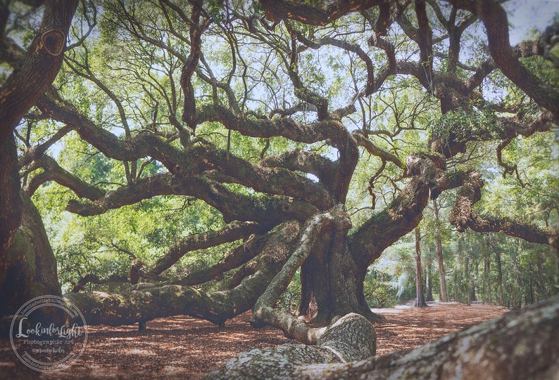 Tree Photography | Angel Oak Tree | Ancient Oak Forest Photo | Charleston  Tree | South Carolina Nature | Tree Wall Decor | Oak Tree Picture