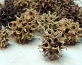 36 SMALL Sweet Gum tree seed pods, Nature Crafts, Woodland or rustic decor curiosity cabinet natural history collection
