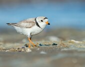 Piping Plover Picture