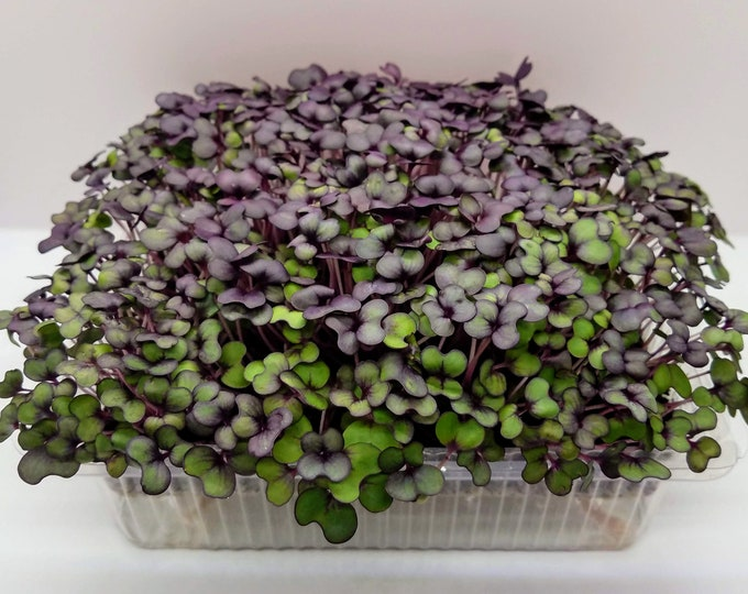 Better than Red Cabbage, Red Cabbage Microgreens Provide Potent Nutrition and Amazing Taste