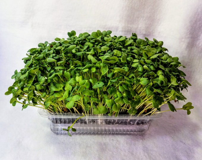 Spicy Hyper Greens Microgreen Kit  5-7 Days Seed to Harvest, 5 Crops