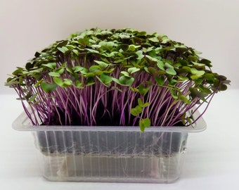 Grow Purple Kohlrabi Microgreen Kit - Brassica Seeds, Grow Media & Self Watering Grow Trays