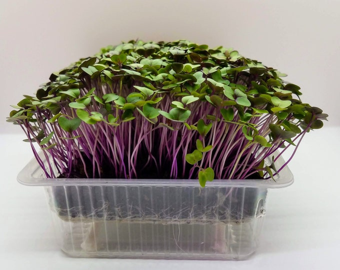 Grow Purple Kohlrabi Microgreen Kit - Brassica Seeds, Grow Media & Self Watering Grow Trays