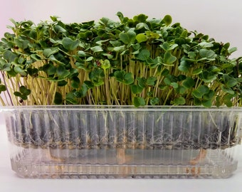 Kale Microgreens, Better Than Original Leafy Superfood