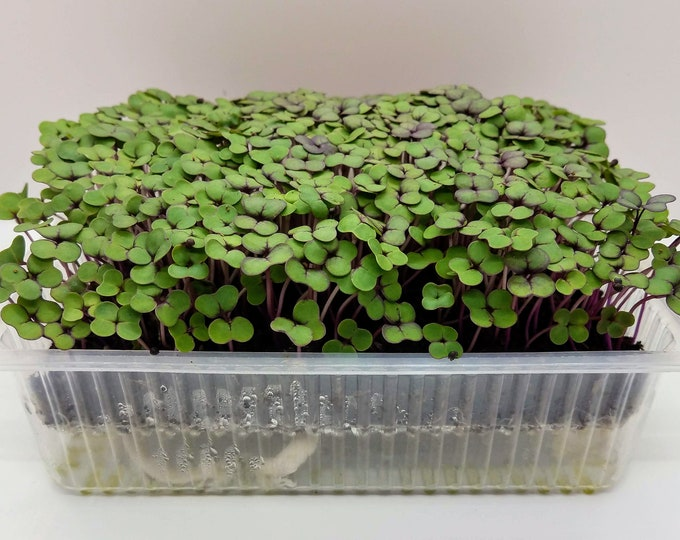 Red Kale Microgreen Kit, Original Leafy Superfood