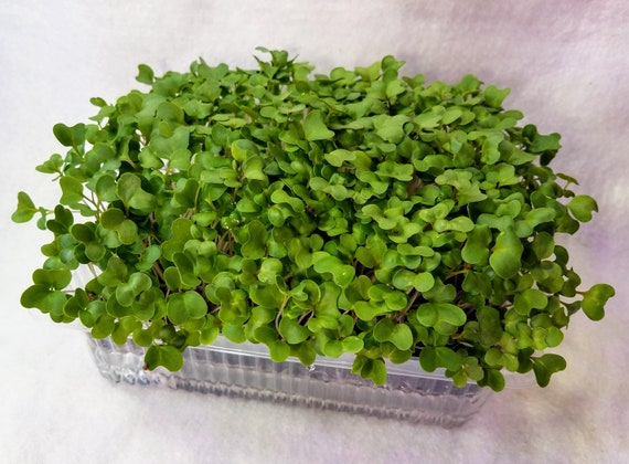 SPECIAL Intro Price - Broccoli Microgreen Super Starter Kit - FREE SHIPPING