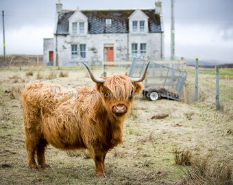 A juvenile long horned Highland cow on the Isle of Skye, Scotland