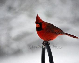 Winter Cardinal Card Collection