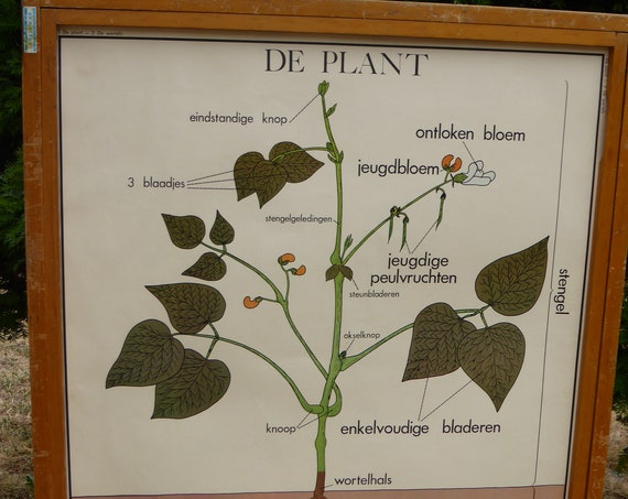 School poster Editions Rossignol Montmorillon Vienne number 1 and 2, front and back, roots and plant, vintage 1970