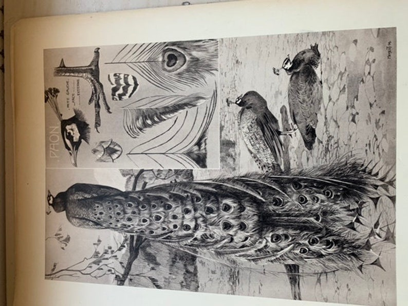 Le Paon by mathurin MEHEUT ANIMALS series Old plate number 33 poster lithography engraving cabinet of curiosities