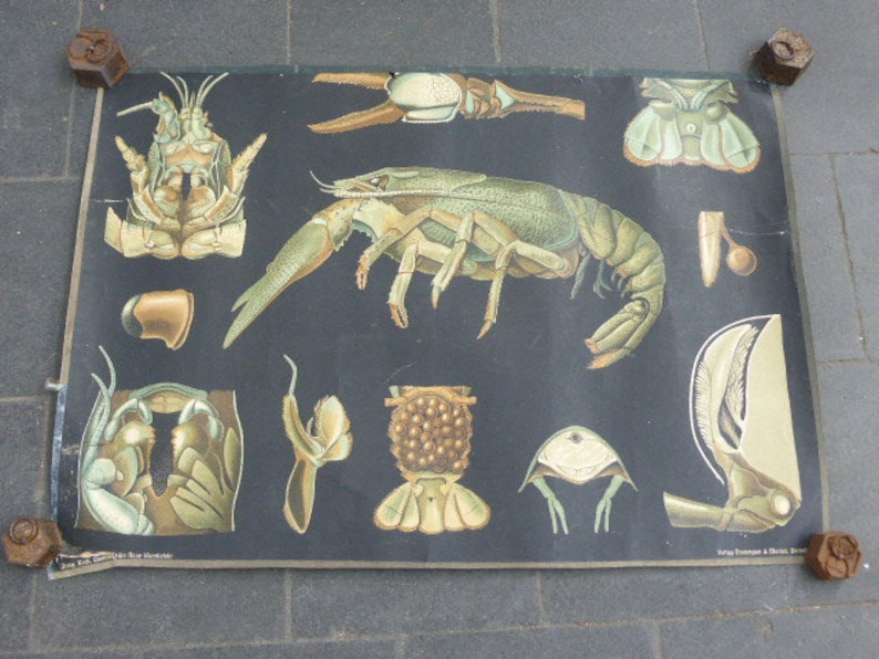 collector Germany crayfish Zoological beautiful drawings for a cabinet of curiosity School poster by Jung Koch Quentell circa 1905