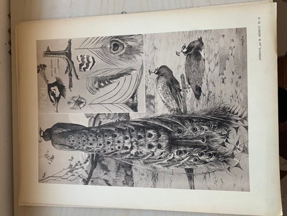 Old plate number 33, Le Paon by mathurin MEHEUT, ANIMALS series, poster, lithography engraving cabinet of curiosities