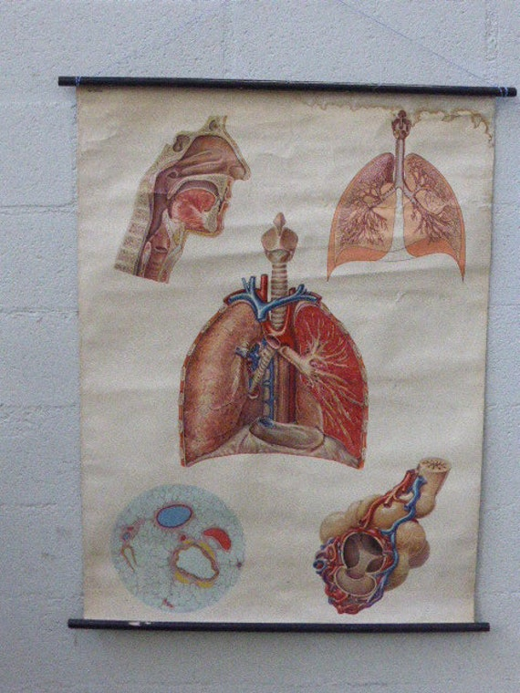 School and educational poster, medicine, the human body, the respiratory system, numbered 2036, vintage and collector