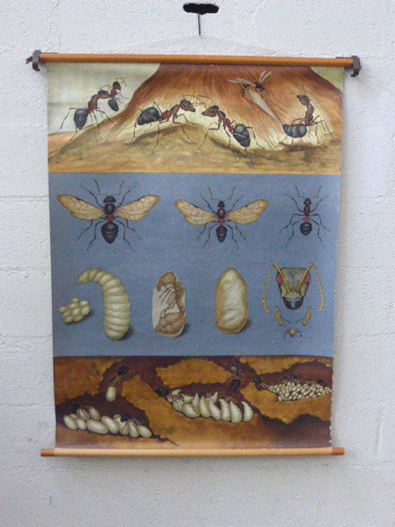 Pedagogical and school poster insects, ants by Jung Koch Quentell collector and vintage 1960