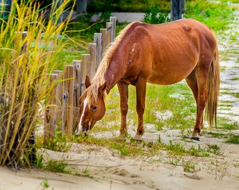 Wild horses of the Outer Banks photographs, horses of Corolla beach house pictures, coastal picture, green, yellow, brown, OBX photography