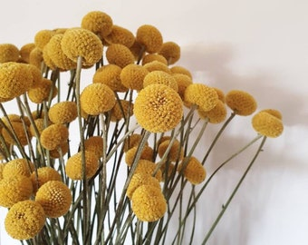 Dried Billy Buttons Bunch Yellow | Craspedia