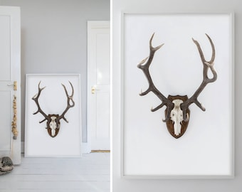 Photograph,  Antlers, Taxidermy, Wild, Animal, White, Brown, Home decor, Wall art, Home, Minimal, Print, Photo, Art