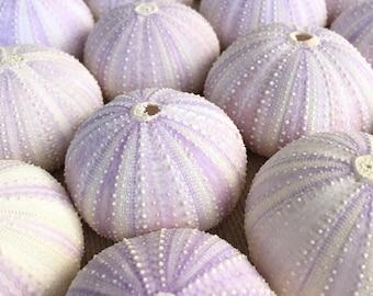 Sea Urchins, Sea Urchin, Purple Sea Urchin, Beach Decor, Sea Urchin Shell, Seashells, Urchin