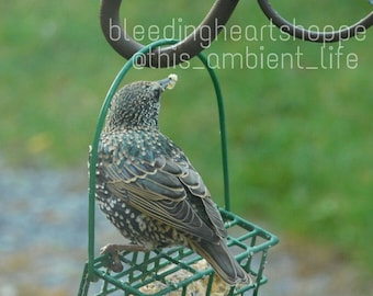 Starling ~ Photograph