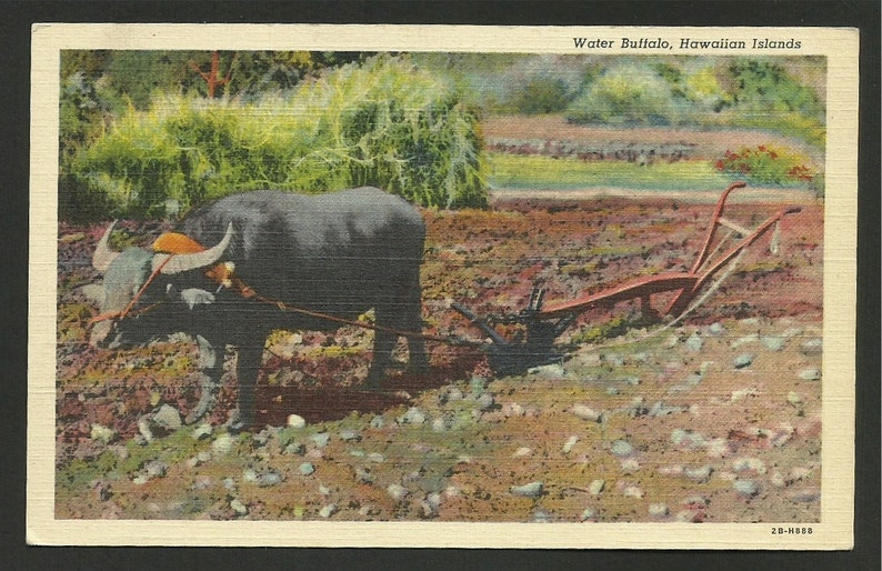 Linen Postcard 1470 In Hawaii the Old Way of Plowing the Fields was to Use Water Buffalo