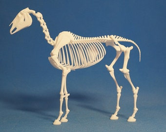 Horse skeleton. 16 cm at the withers.