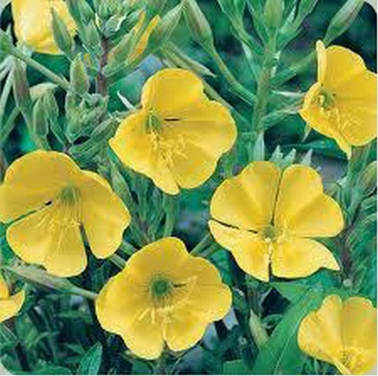 Evening Primrose Yellow 500 Seeds Etsy