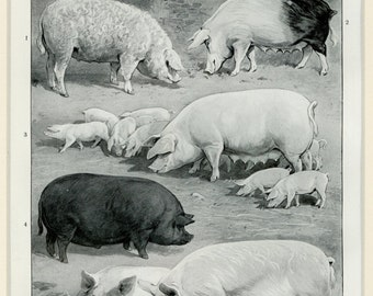 """Matted Antique Pig Print C. 1900  Swine Hogs Agriculture Farm Country Decor 11x14"""""""