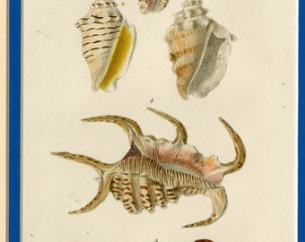 Seashells from John Mawe's Conchology c.1823 Hand Colored Engraving - Matted 9x12 - Sowerby Illustration, Wall Art, Decor