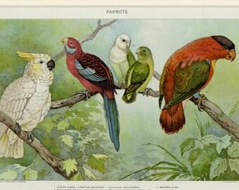 """Antique Bird Print Parrots C. 1902 Matted 11x14"""" Vintage Decor"""