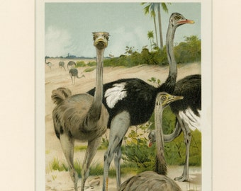 Vintage Ostrich Art Print C. 1894 - Antique Lithograph - Wall Art, Home Decor, Unique Gift - Ready to Frame 11x14 - Birds Natural History