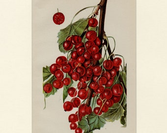 """CURRANT BERRIES Vintage Art Print """"Diploma Currant"""" C.1900 U.S. Department of Agriculture Botanical, Wall Art Home Decor Gift, Matted 11x14"""