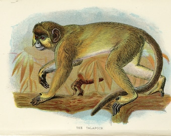 Talapoin Monkey Antique Print - Monkey Wall Art - Antique Lithograph C. 1896  Apes Monkeys Primates Lloyd's Natural History