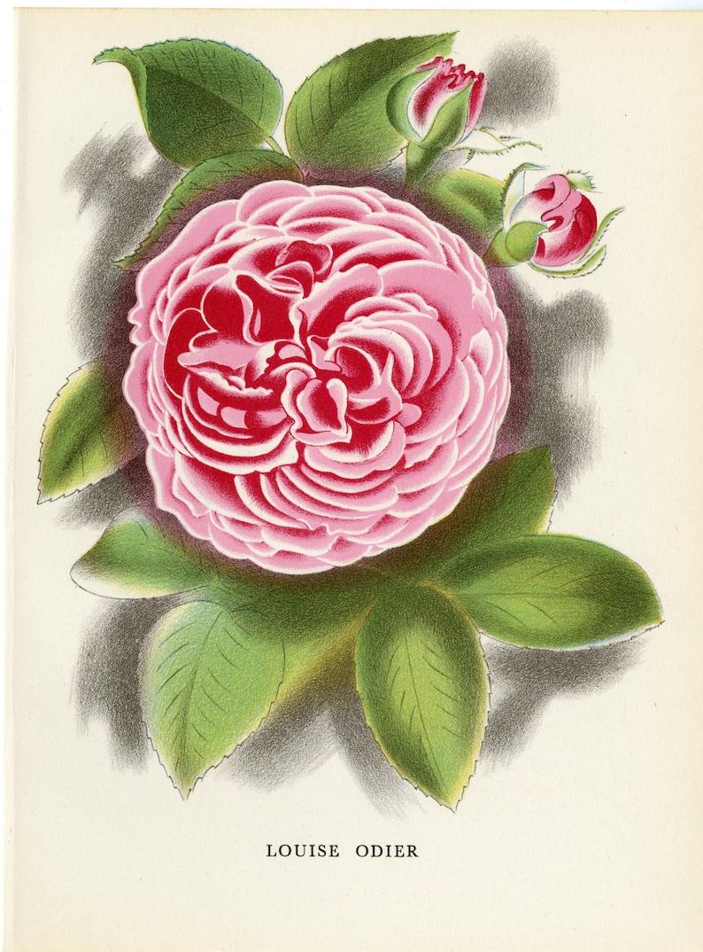 """1926 Vintage GARDEN FLOWER /""""CINERARIA/"""" GORGEOUS COLOR Art Print Lithograph"""