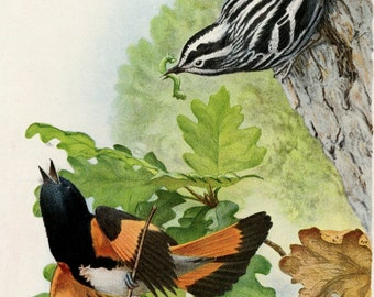 American Redstart, Black and White Warbler - Antique Bird Print - Old Lithograph by Louis Fuertes C. 1901 - Nature Wall Decor
