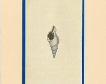 Vintage Seashell Art Print by Edward Donovan C. 1800 Antique Engraving - Matted 9x12 - Nautical Wall Art, Home Decor, Christmas Gift