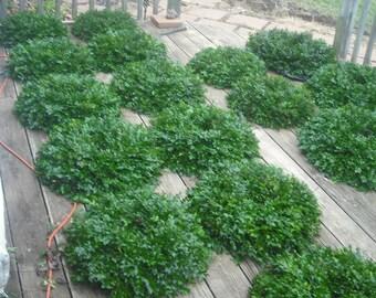 Oak Hill Organics Signature English Boxwood Wreaths!