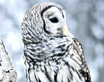 Winter Owl - Owl Photography, Owl Art, Owl Art, Owl Art Photography, Barred Owl, Winter Photography, Nature Photography, Bird Art, Owl Decor