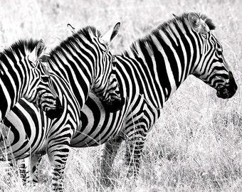 Zebra Family, Digital Photography, Zebra Art, Black and White Zebras, Zebra Art Print, Zebra Artwork, Zebra Decor, Wildlife Photography