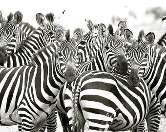 Zebra Herd - Zebra Photography, Zebra Art, Safari Art, Black and White Zebra Art, Zebra Wall Art, Zebra Decor, Wildlife Photography, Nature