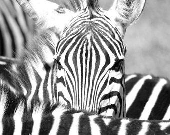 Zebra Photography - Digital Photography, Whimsical Zebra, Zebra Peek, Zebra Art, Fine Art Photography, Zebra Decor, Zebra Print, Safari Art