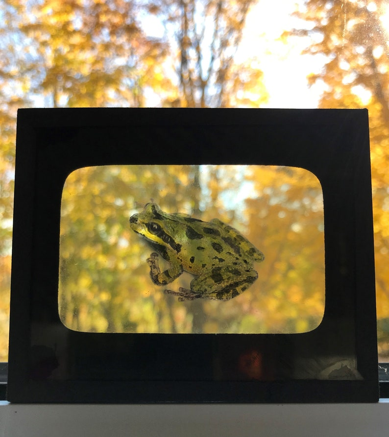 History Science Naturalist light catcher National Museum of Canada Amphibians /& Reptiles Antique /'Pacific Tree Frog/' Glass Lantern Slide