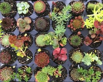 Pack Of 30 Sempervivum and Sedum Plants 30 Varieties