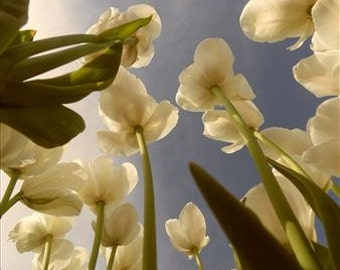Tulips Up - Lustre Photograph (Matted)