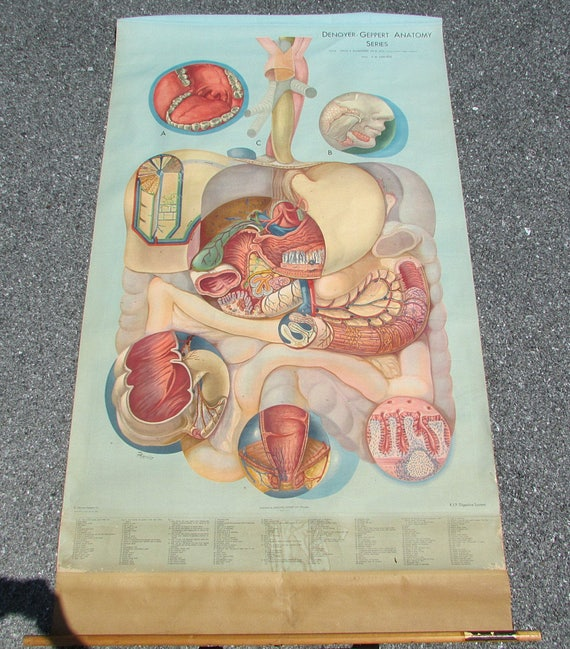 Vintage 1940s Medical School Anatomy Wall Chart Large Poster Etsy