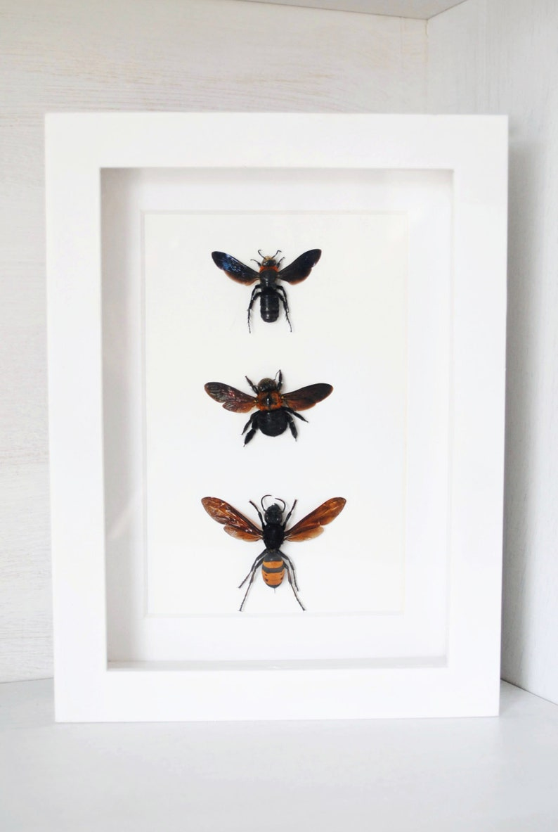 Real Framed Bees /& Wasps Hymenoptera Entomology  Zoology  Dried Insect  Curiosities FREE SHIPPING