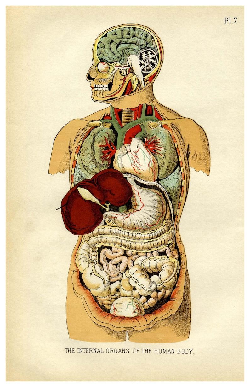 Internal Organs Of The Human Body 11 X 17 Posterprint A Etsy