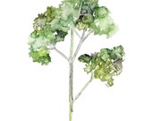 Parsley Herb Painting - P...